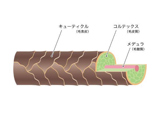 髪の構造についての説明