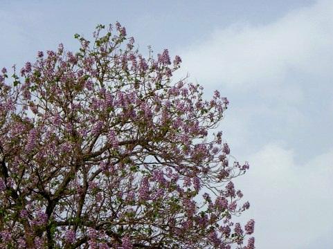 桐って一体どんな木?植物としての桐の特徴