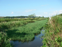 水路を覆うほどあるチクゴスズメノヒエ