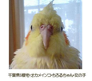 ChiroruChan2.jpg