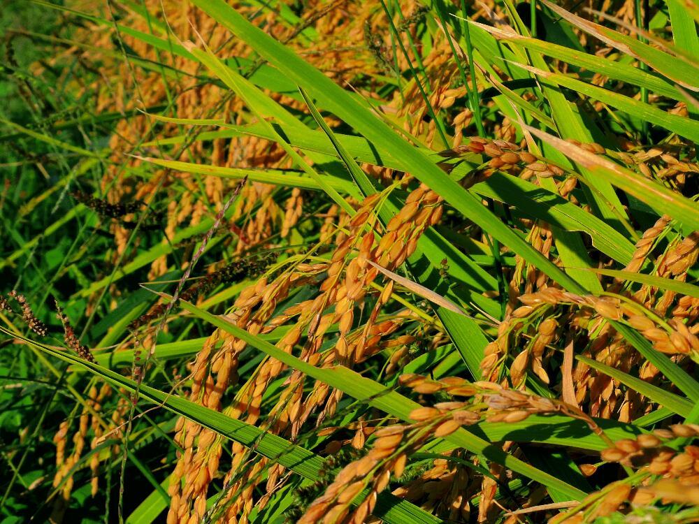 金色に輝く稲たちの稲刈り。穂先が垂れているのが身の詰まった証。