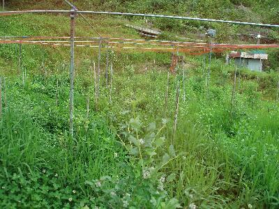 ブルーベリー畑。除草剤は一切使用しない草性栽培で、どこに木がある状態なのか分からない状態です。