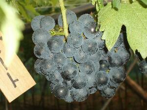 紫黒色肉質は締まり多汁。サッパリとした食べやすい葡萄欧米種系雑種