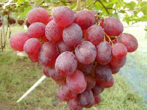細長い薄く紫味を帯びた鮮紅色 欧州種