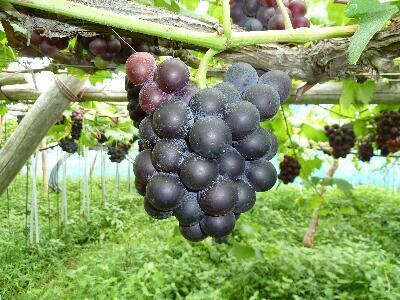 除草剤も一切使用しないため、草ぼうぼうの草性栽培葡萄です